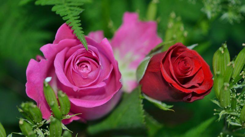migliaia di rose