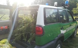 coltivazione di marijuana