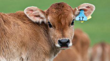vitello intrappolato