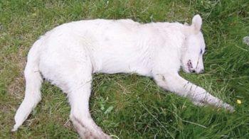 cani uccisi