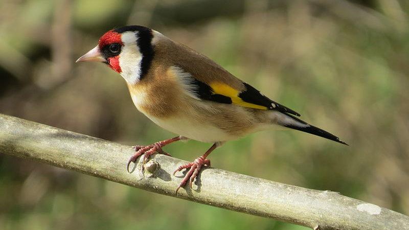 catturava uccellini