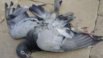 piccione ucciso