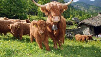 bovini scozzesi