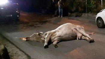 auto contro mucche