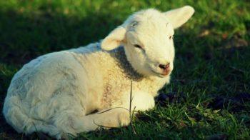 strage di agnellini