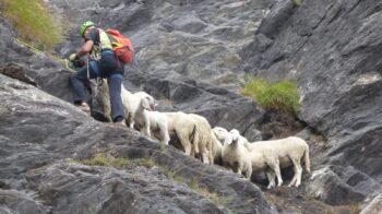 pecore bloccate