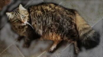 Grignasco smarrito il gatto Tigre