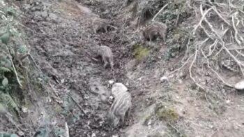 Grignasco cuccioli di cinghiale
